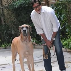 Amitabh Bachchan with his big Piranga Dane Dog, Shanok, at Jalsa