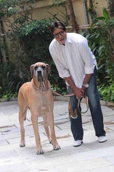 ... Amitabh Bachchan With His Big Piranga Dane Dog, Shanok, At Jalsa