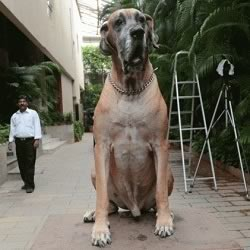 Amitabh Bachchan's Dog Shanouk stands guard at the Bachcan home of Jalsa.