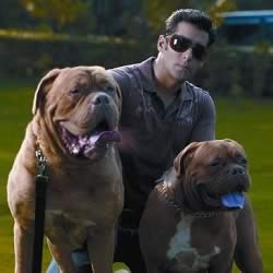 Salman Khan French Mastiff dogs, MyJaan and MySon.