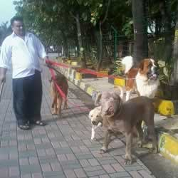 Salman Khan's pet dogs (St Bernard, French Mastiff) taking a walk.