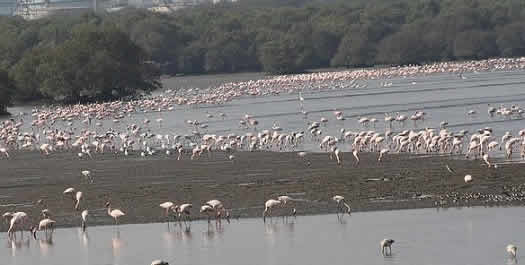 Flamingos in Mumbai come to the Mahul, Sewree and Thane flatland.