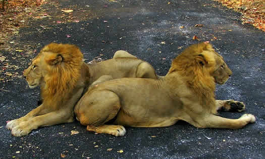 Lion and Tiger Safari at Mumbai's Borivali National Park.